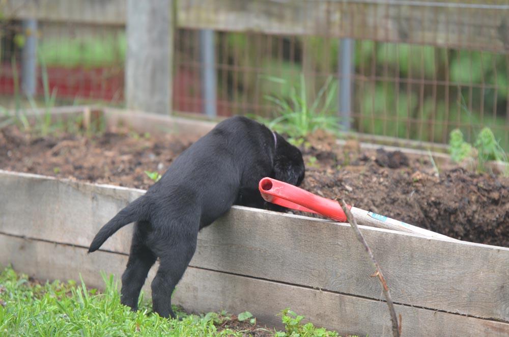 Gardening Puppy