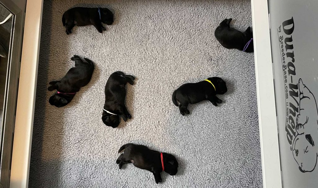 A Guest Blog from Ari Katz on his Labrador Retriever Puppies